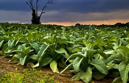 Tobacco - E Agriculture Service for Farmers – Bakhabar Kissan