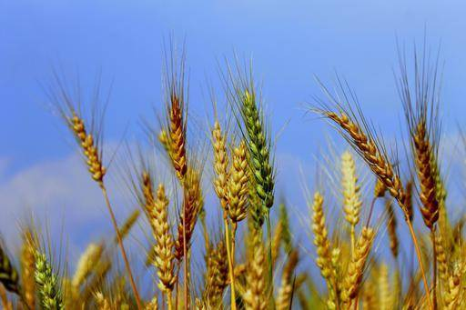 wheat production in pakistan cultivation of wheat bakhabar kissan