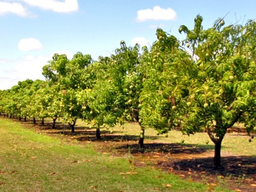 Protect Mango Orchards From Frost Damage In Winters