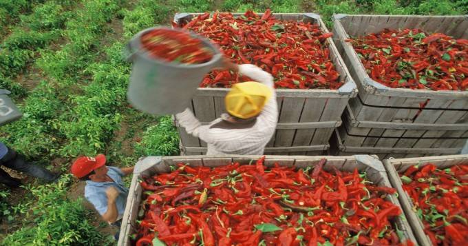 Transplant chilli nursery in fields till 15 February - E Agriculture