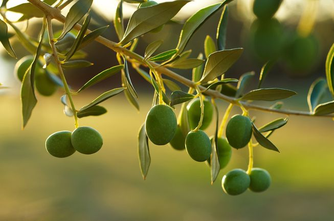 Olive Production Technology and Cultivation | Bakhabar Kissan