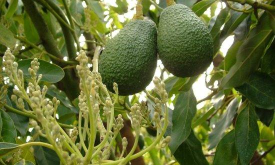 Picture Of Avocado Tree With Fruits